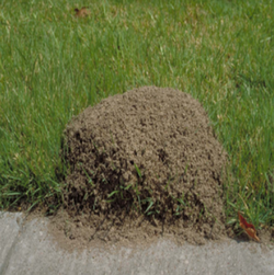 This is a picture of a fire ant mound in Summerville SC